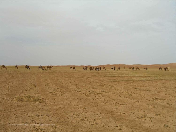 Sahara, dromedari al pascolo