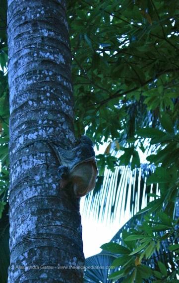Perhentian Besar, lemure volante con cucciolo al seguito