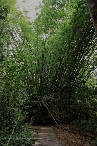 Taman Negara, bamboo gigante