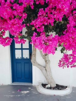 bouganvillea, Santorini